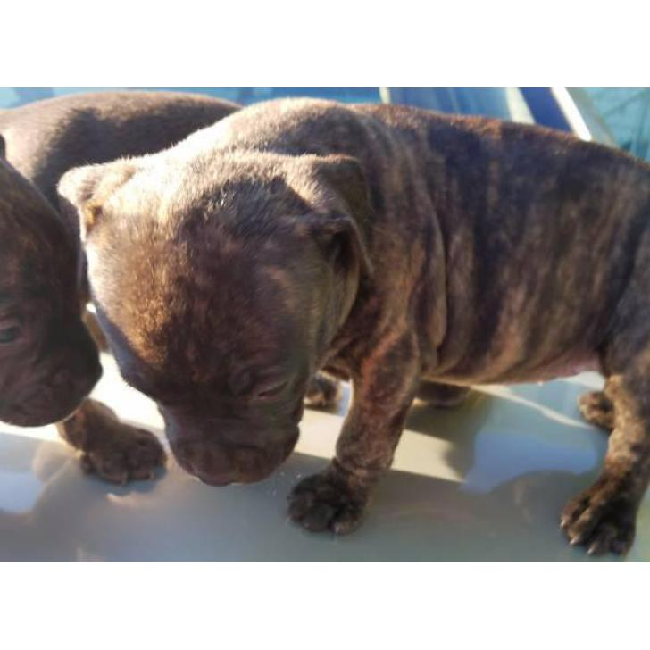 Pocket Bully Brindle In Columbus Ohio Puppies For Sale Near Me