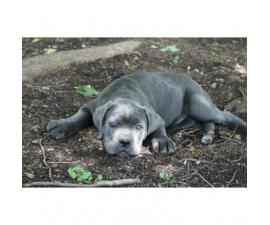 Cane Corso Puppies AKC/ICCF registered