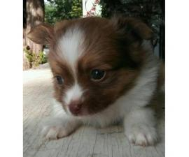 2 adorable red and white female full blood papillion puppies