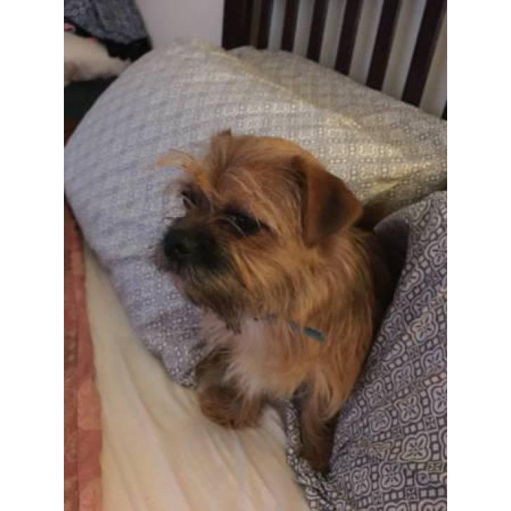 Yorkie/Shih Tzu mix 8 months old in , Vermont - Puppies for