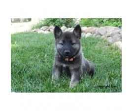 Beautiful AKC registered Norwegian Elkhound puppies