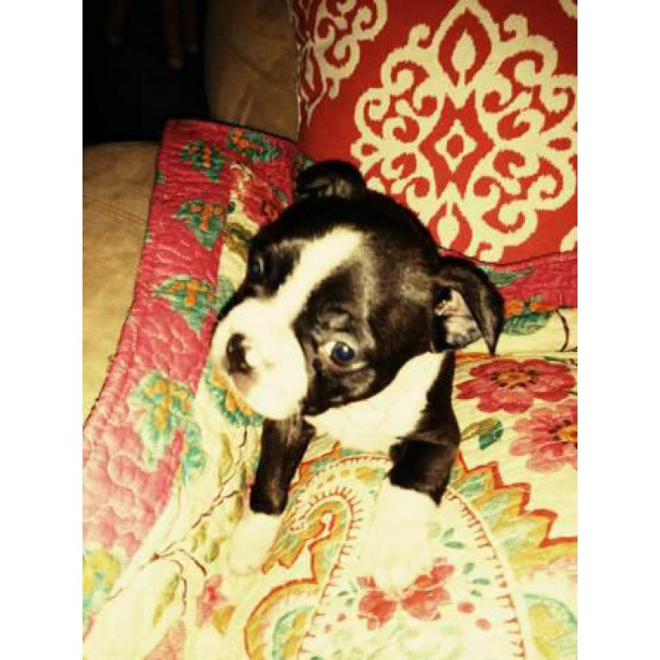 3 Female Boston Terrier Pups Ckc Registered In Jacksonville Florida Puppies For Sale Near Me
