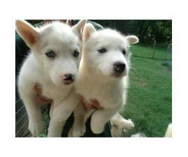 Absolutely adorable & playful Husky for sale