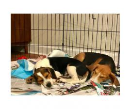 Adorable Beagle/hound mix available for adoption