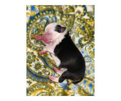 3 Toy Aussie puppies for Sale