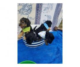 4 boys Yorkipoo puppies need their forever homes