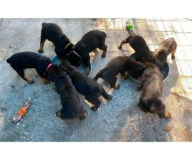 4 AKC Registered Rottweiler puppies for sale