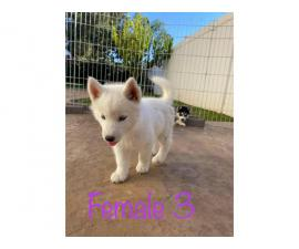 Gorgeous Husky Puppies ready to be rehomed