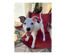 Rehoming 3 female pit mix puppies