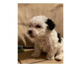 Four Mini poodle puppies available