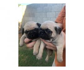 Rehoming four cute, pure-bred fawn Pug puppies