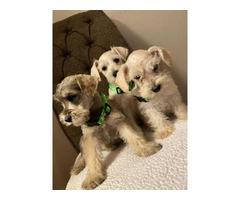 3 miniature Schnauzer puppies for adoption