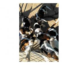 6 Tri colored Basset Hound Puppies for sale