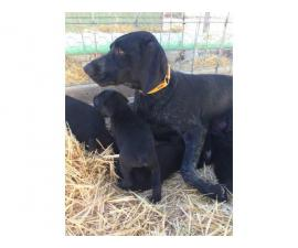 German Wirehair Lab Puppies available