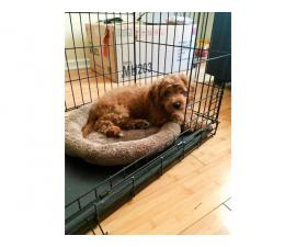3 months old Cavapoo female puppy