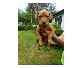 8 Gorgeous Red Nose Pit Puppies for Sale