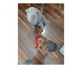 One female Shar pei puppy looking for a new home