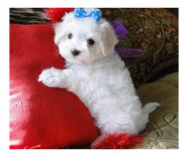 Outstanding little Maltese pups