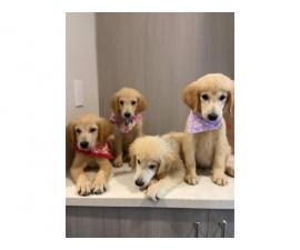 4 lovely Golden Retriever Puppies