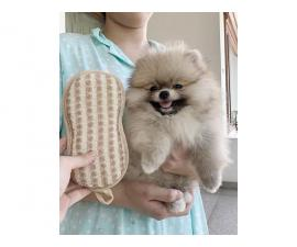 AKC registered Pomeranian puppy for rehoming