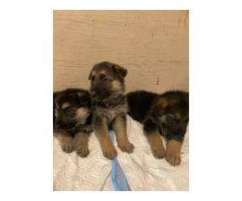AKC Purebred German Shepherd puppies for sale