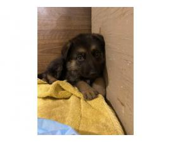 AKC Purebred German Shepherd puppies for sale