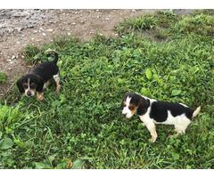 2 cute female beagle puppies for adoption