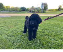2 male Sammypoo puppies for sale
