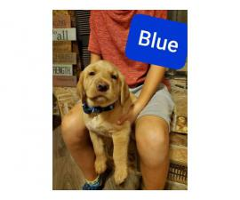 AKC registered a yellow Labrador retriever puppies for sale