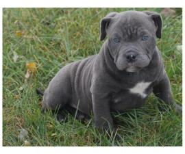 2 boys and 1 girl American Pit Bull Terrier  puppies for rehoming