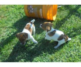 2 playful Jack russell terriers