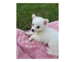 7 American Eskimo puppies for sale
