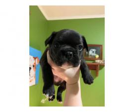 5 Registered French Bulldogs for sale