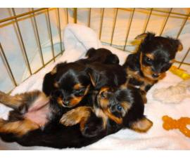 Five Purebred Yorkie Puppies Available