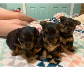 3 lovely Chorkie puppies