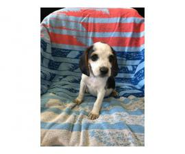 2 Boys, 1 girl cute Beagle puppies needs great home