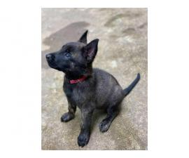 Males and females dutch shepherd puppies available