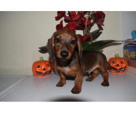 dachshund boy puppy for rehoming