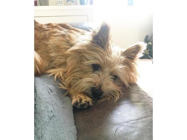 lovable Norwich terrier in Washington, District of ...