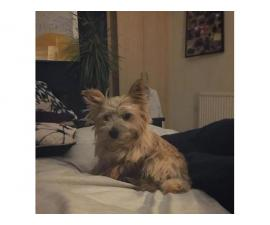 lovable Norwich terrier