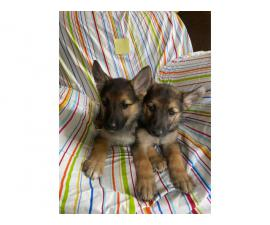 8 weeks old Purebred German Shepherds