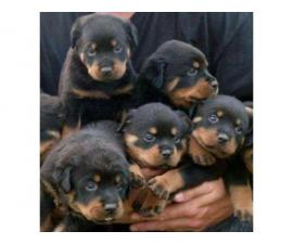 Adorable AKC registered rottweiler puppies available