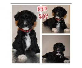 4 girls and 3 boys mini Aussiedoodle puppies up for rehoming