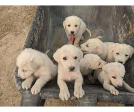 10 Great Pyrenees Puppies available
