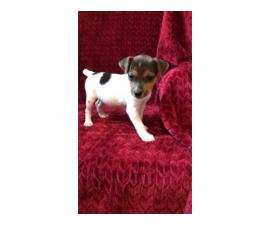 2 females Jack Russell terrier puppies