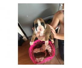 Boxer puppies only 3 left