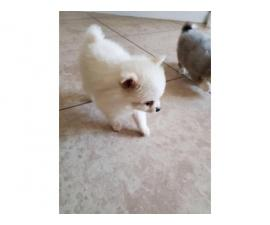 Two cute pomeranian puppies for sale