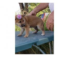 7 weeks old Shiba inu puppies to be re-home