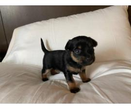2 Yorkie Pin Puppies for Sale