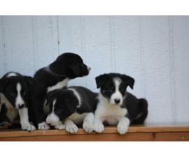 Litter of purebred border collie puppies